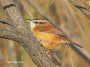Carolina Wren - 1/1000 sec. @ f6.3, +0.3 EV, ISO 640, 600mm.