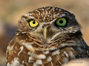 Burrowing Owl - 1/1600 sec. @ f7.1, ISO 400, 600mm.