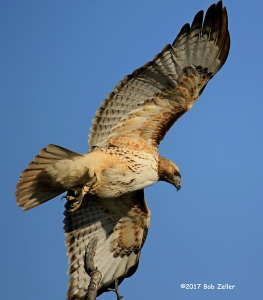 Red-tailed Hawk - 1/2000 sec. @ f6.3, ISO 320, 600mm.