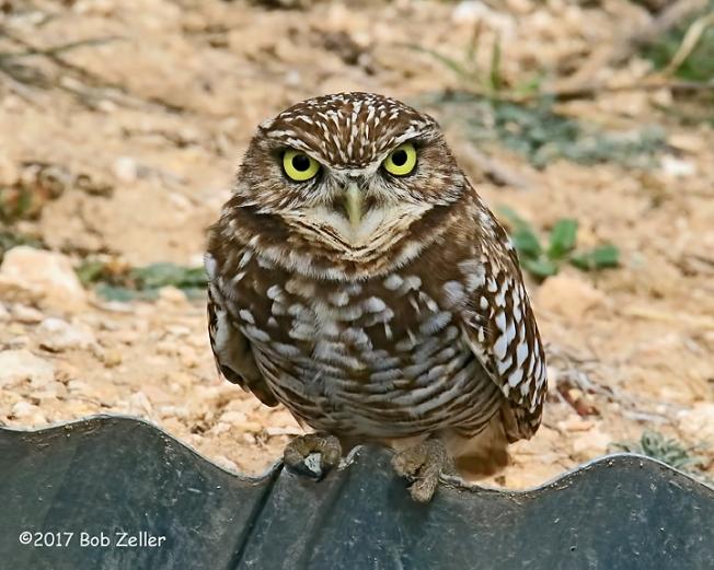 4G7A0187-net-owl-burrowing-bob-zeller