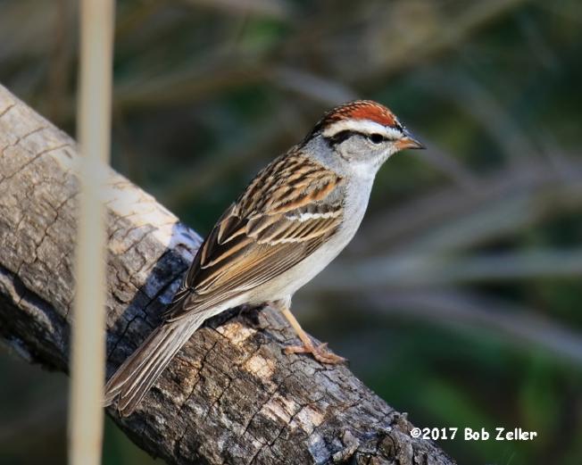 1Y7A3130-net-sparrow-chipping-bob-zeller