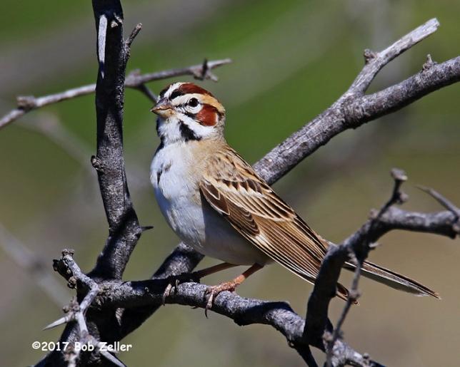 4G7A3001-net-sparrow-lark-bob-zeller