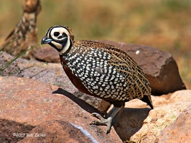 1Y7A3884-net-quail-montezuma-bob-zeller