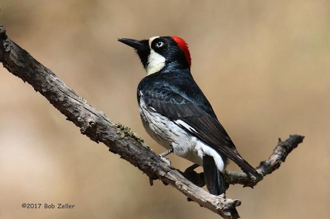 1Y7A4111-net-woodpecker-acorn-bob-zeller
