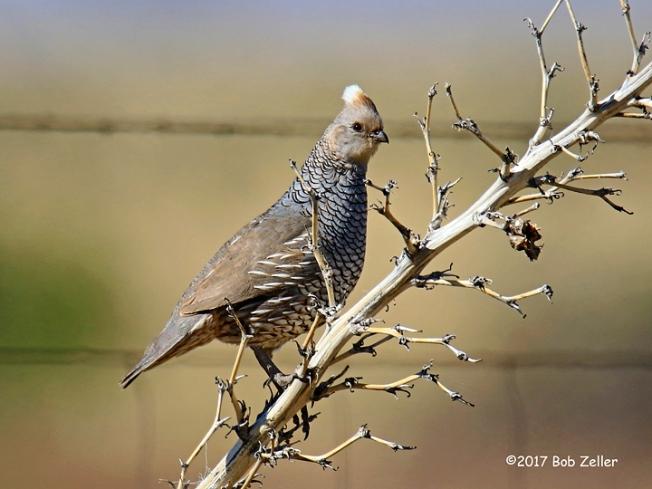1Y7A4206-net-quail-scaled-bob-zeller