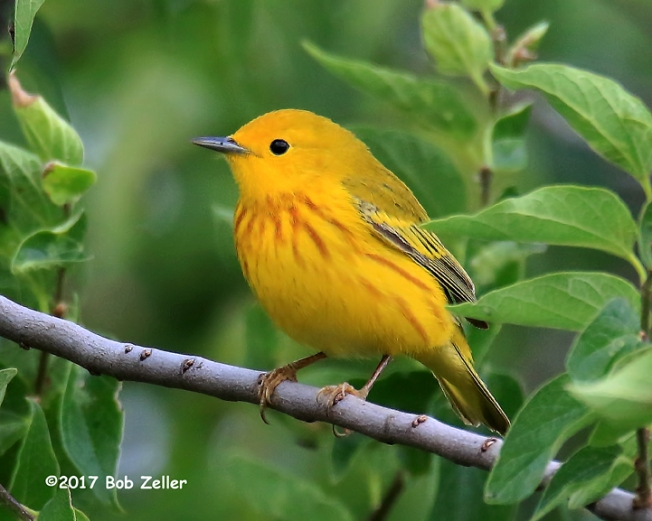 1Y7A5325-net-warbler-yellow-bob-zeller