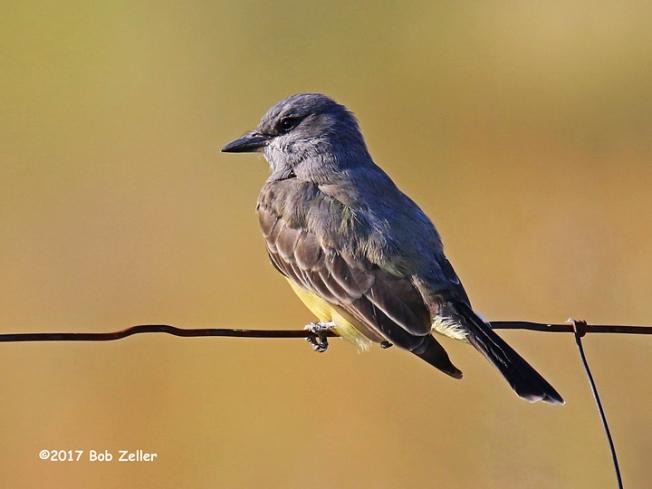 1Y7A8944-net-kingbird-cassins-bob-zeller