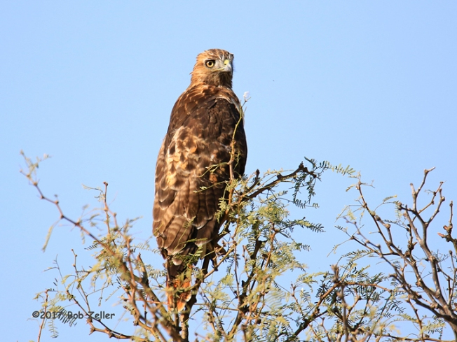 1Y7A8963-net-hawk-red-tailed-bob-zeller
