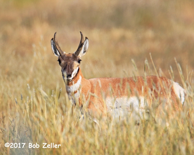 1Y7A9033-net-antelope-bob-zeller