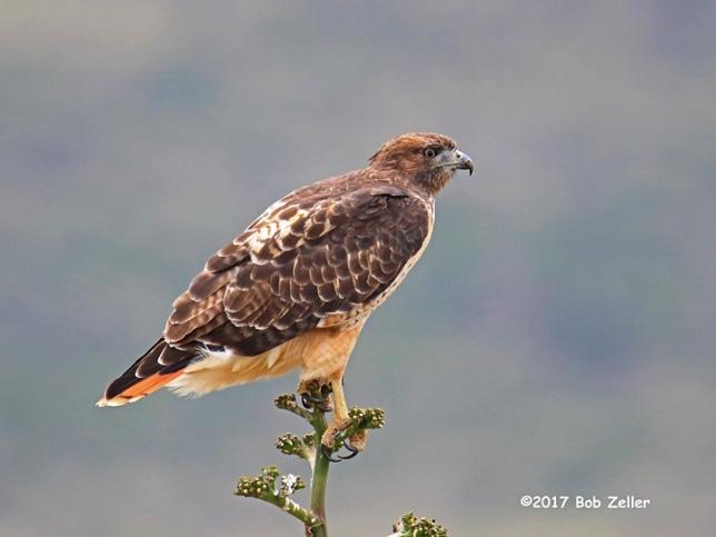 1Y7A9157-net-hawk-redtailed-bob-zeller