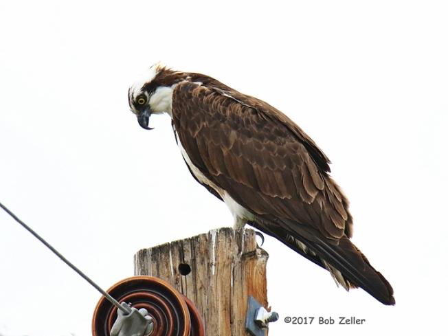 1Y7A9193-net-osprey-bob-zeller