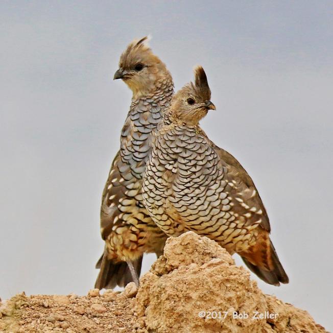 1Y7A9214-net-quail-scaled-bob-zeller