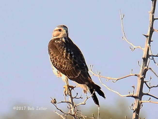 1Y7A9304-net-kite-white-tailed-bob-zeller