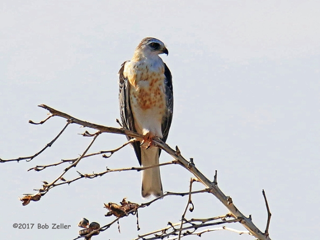 1Y7A9314-net-kite-white-tailed-bob-zeller