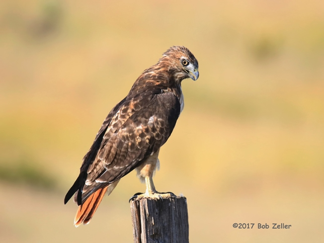 1Y7A9348-net-hawk-red-tailed-bob-zeller