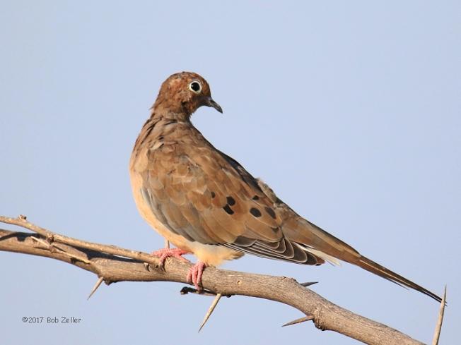 1Y7A9515-net-dove-mourning-bob-zeller
