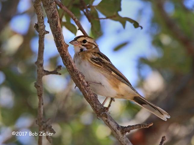 1Y7A9560-net-sparrow-lark-bob-zeller