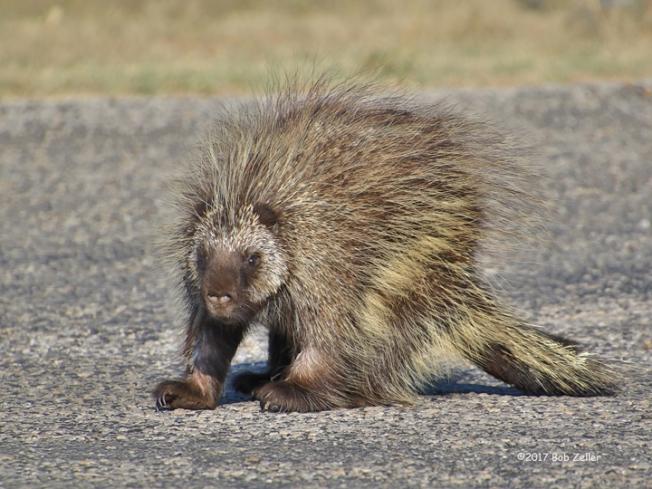 4G7A3708-cv-net-porcupine-bob-zeller