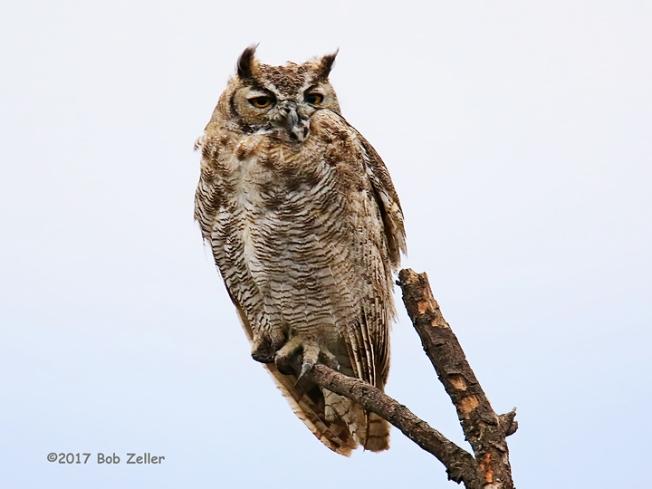 1Y7A0268-net-owl-horned-bob-zeller