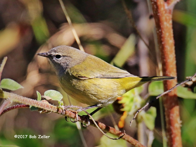 1Y7A0783-net-warbler-orange-crowned-bob-zeller