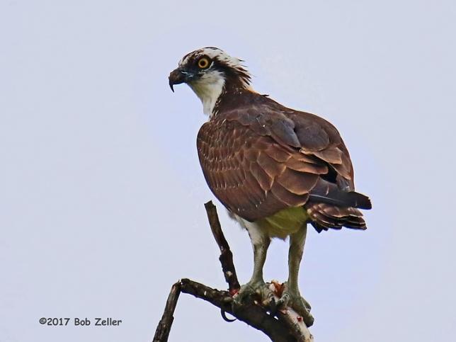 1Y7A9777-net-osprey-bob-zeller