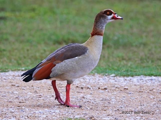 1Y7A9811-net-goose-egyptian-bsob-zeller