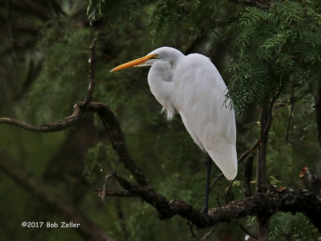 1Y7A9989-net-egret-great-bob-zeller