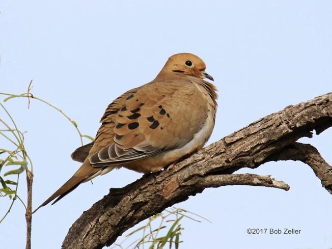 1Y7A0841-net-dove-mourning-bob-zeller