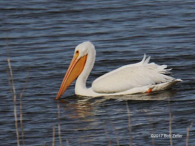 1Y7A0861-net-pelican-bob-zeller