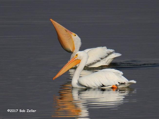1Y7A1243-net-pelicans-bob-zeller