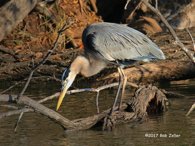 1Y7A1589-net-heron-great-blue-bob-zeller