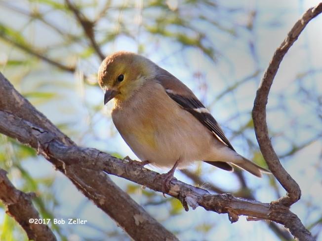 1Y7A1913-net-goldfinch-american-bob-zeller