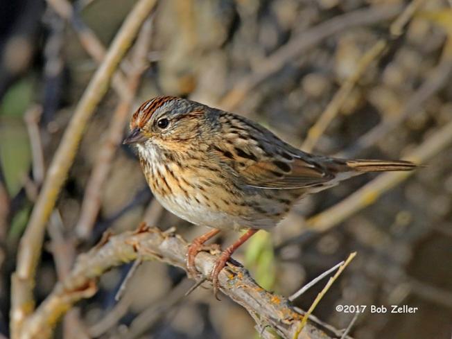 1Y7A2021-net-sparrow-lincolns-bob-zeller
