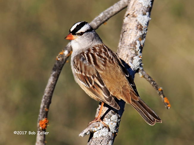 1Y7A2038-net-sparrow-white-crowned-bob-zeller