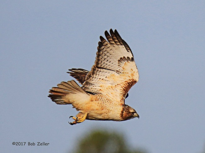 1Y7A2203-net-hawk-red-tailed-bob-zeller