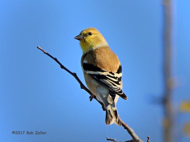 1Y7A2258-net-goldfinch-american-bob-zeller