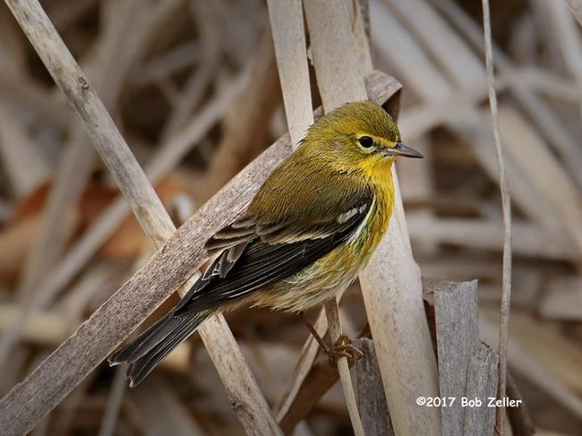 1Y7A2426-net-warbler-pine-bob-zeller