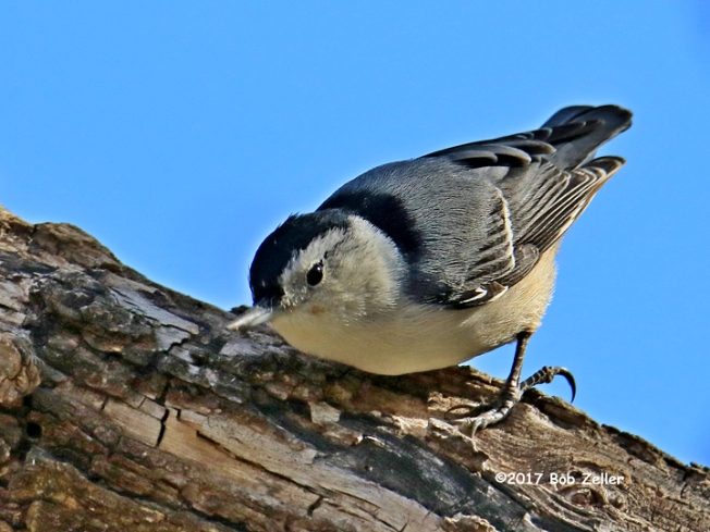 1Y7A2718-net-nuthatch-white-breast-bob-zeller