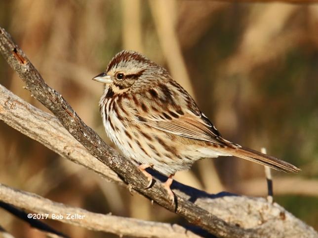 1Y7A2928-net-sparrow-song-bob-zeller