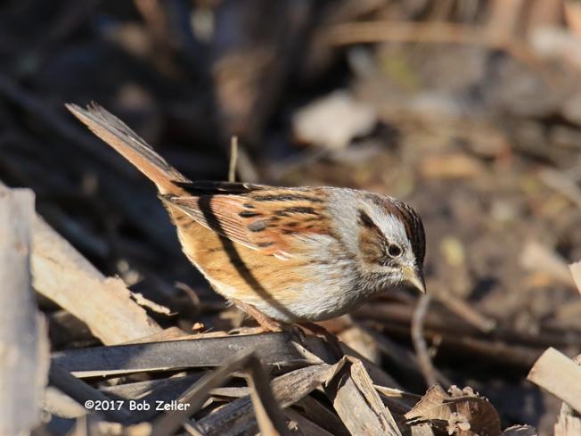 1Y7A3081-net-sparrow-swamp-bob-zeller