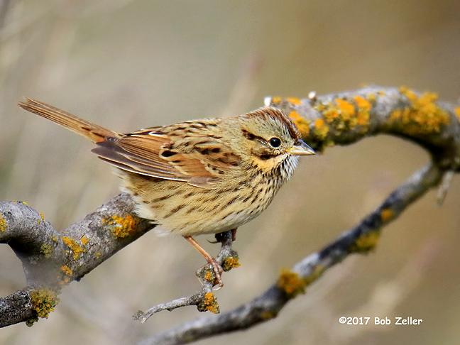 1Y7A3178-net-sparrow-lincolns-bob-zeller