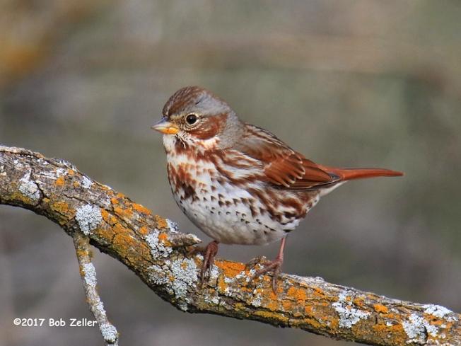 1Y7A3191-net-sparrow-fox-bob-zeller