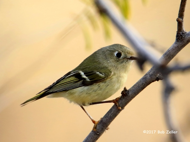 1Y7A3244-net-kinglet-ruby-crown-bob-zeller