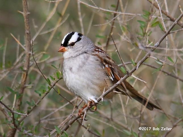 1Y7A3254-net-sparrow-white-crown-bob-zeller