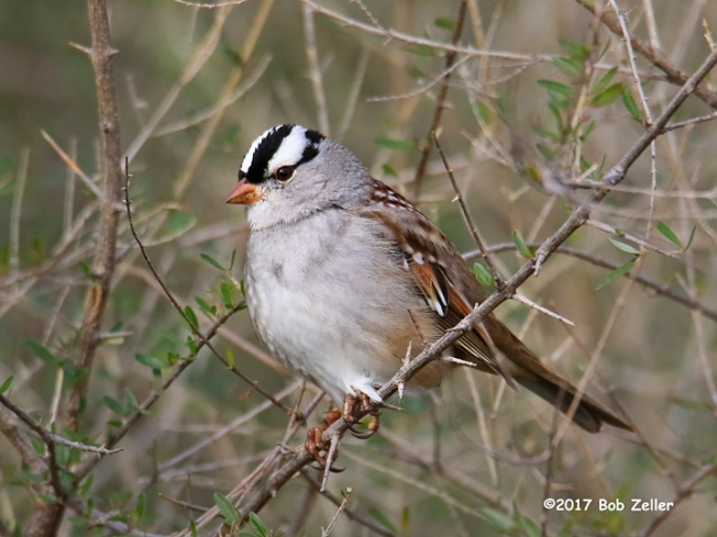 1Y7A3254-net-sparrow-white-crown-bob-zeller