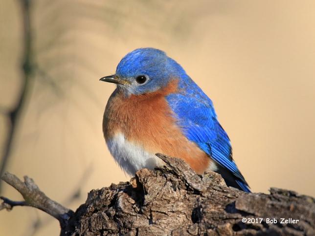 1Y7A3369-net-bluebird-eastern-bob-zeller