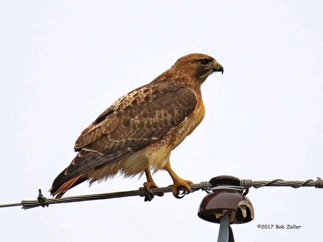 1Y7A3901-net-hawk-red-tail-bob-zeller