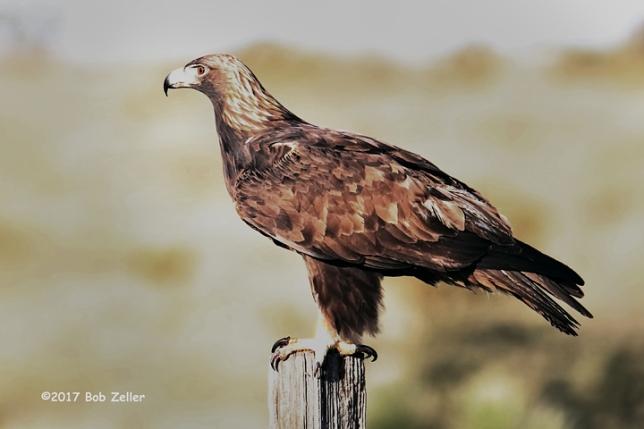 1Y7A9275-net-eagle-golden-bob-zeller