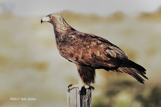 1Y7A9275-net-eagle-golden-bob-zeller