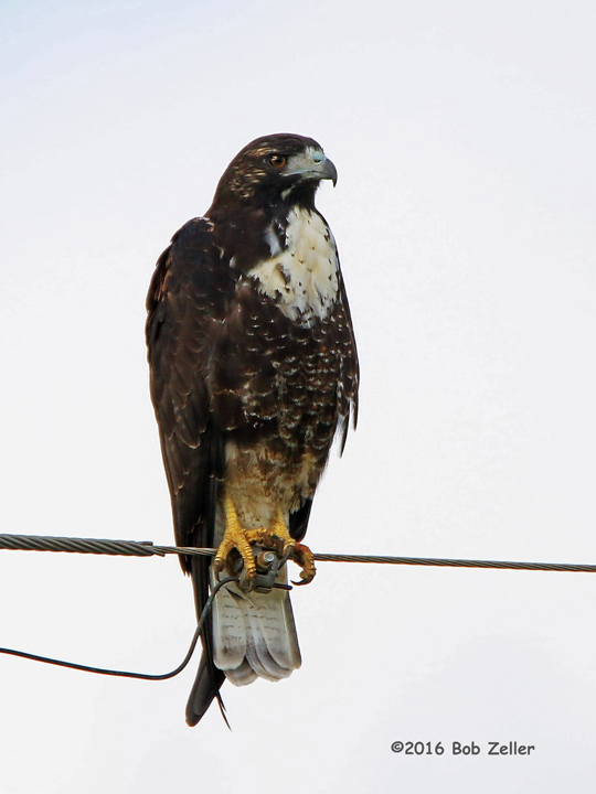 4G7A2042-net-hawk-white-tailed-bob-zeller